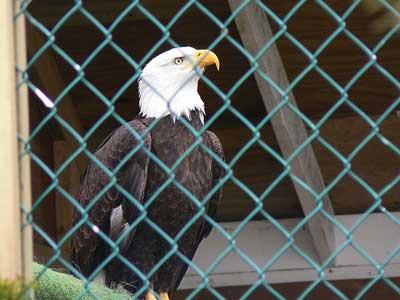 عقاب در قفس