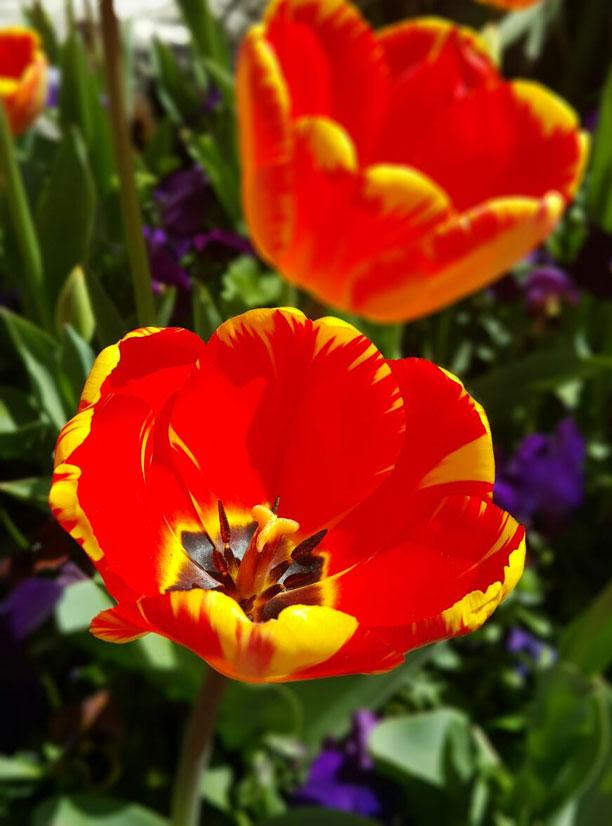 لحظه نگار - عکس گل شقایق