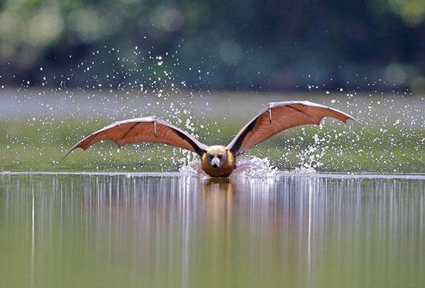 لحظه نگار - خفاش پرنده از دسته خفاش سانان The Flying Fox Fruit Bat