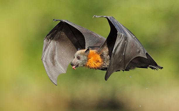لحظه نگار - خفاش پرنده The Flying Fox Fruit Bat