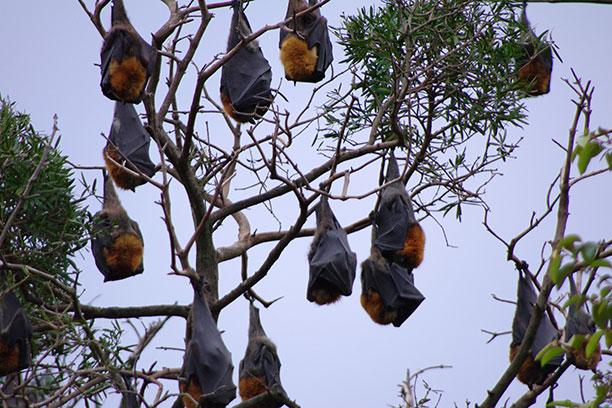لحظه نگار - تصویری از خفاش پرنده
