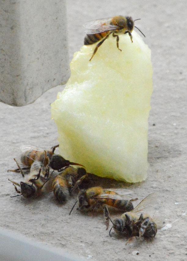 خربزه و زنبور عسل