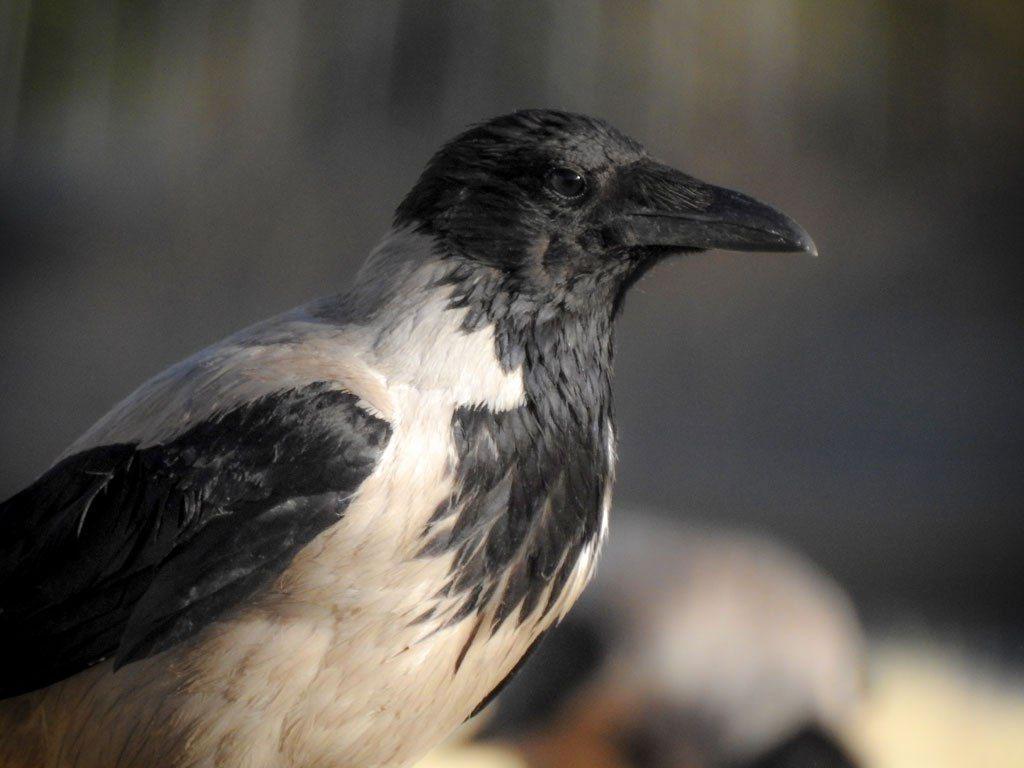 crow-12