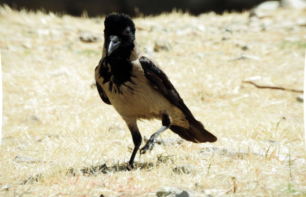 crow-13