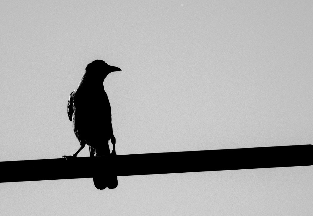 crow-4