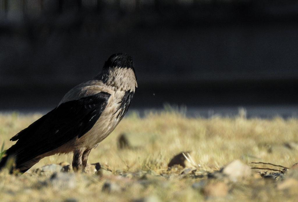 crow-6