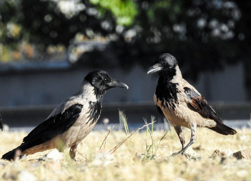 crow-9