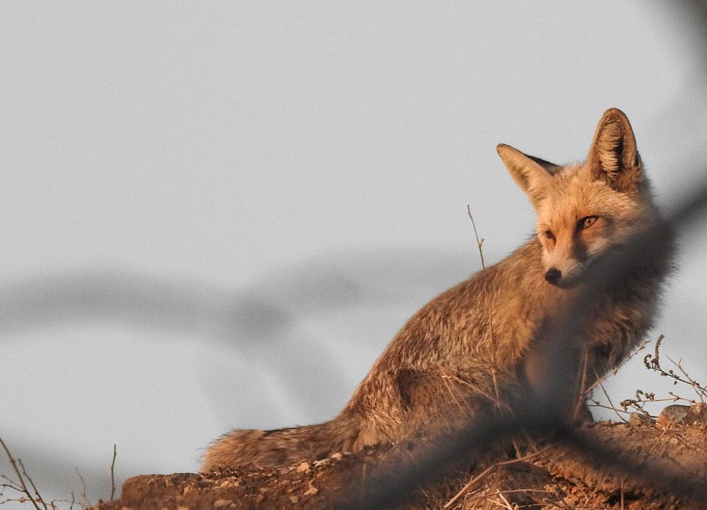 foxy-1