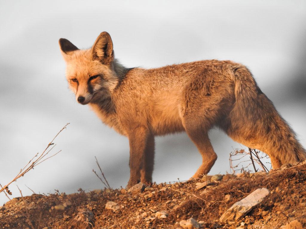 foxy-2