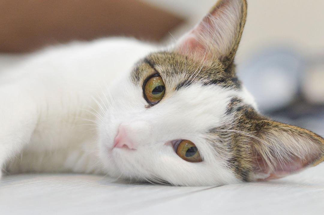 کوکی - گربه