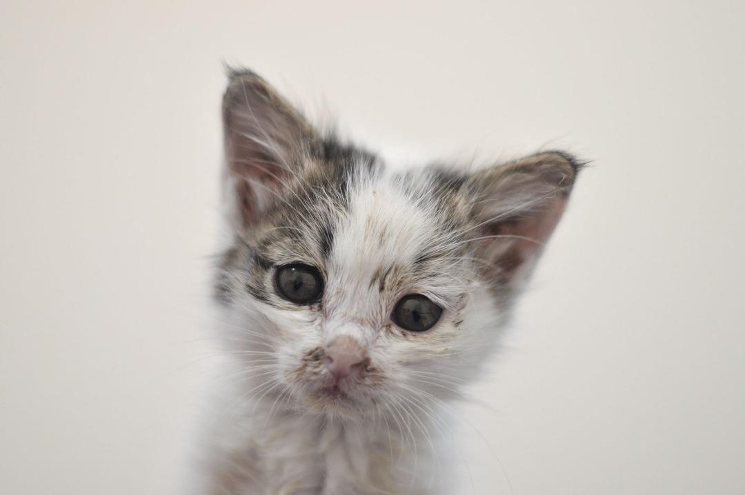 بچه گربه - حمایت از حیوانات بومی