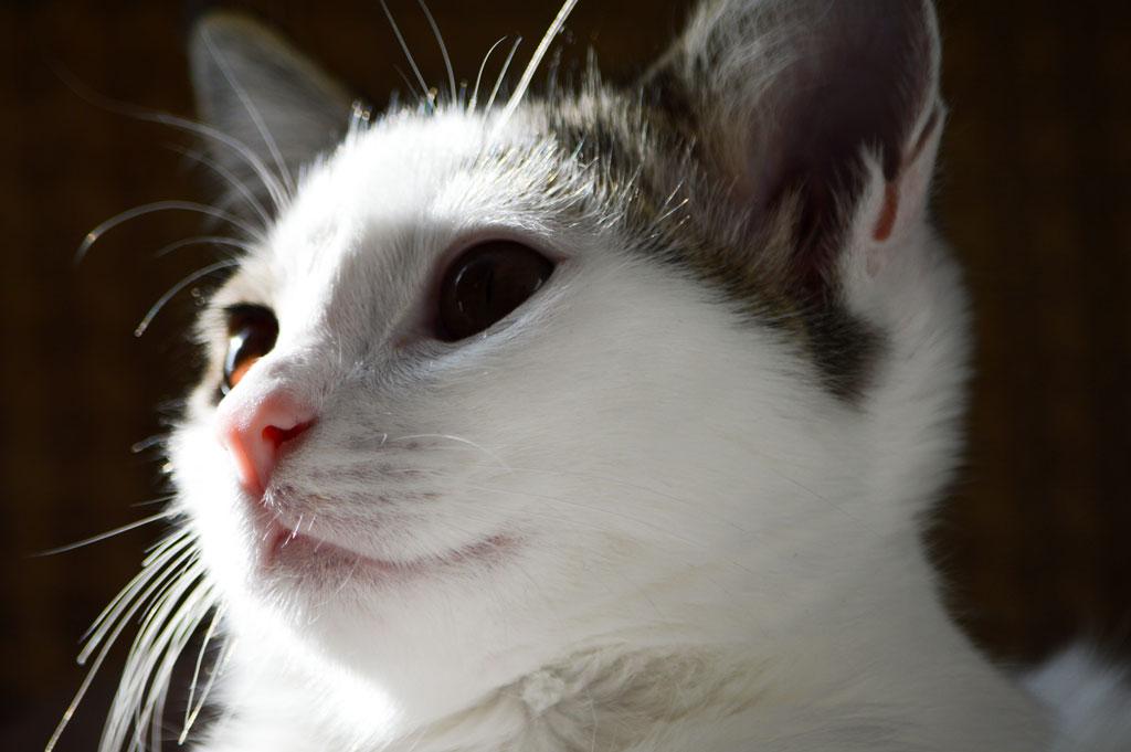 کوکی - گربه محمدرضا شعبانعلی