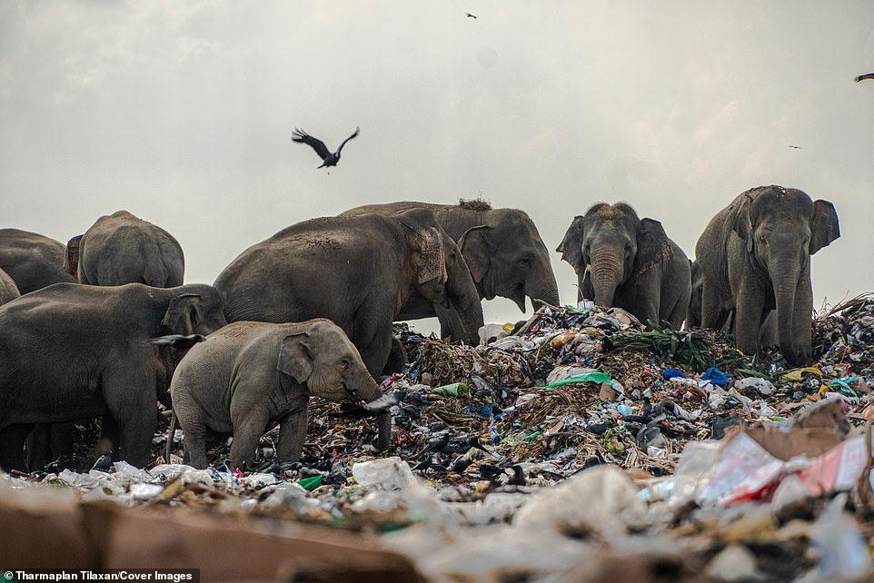 فیل در میانه زباله
