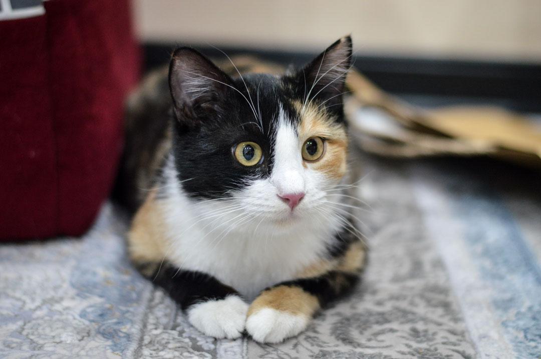 بلوط گربه